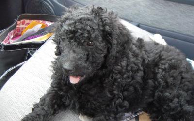 Abby puppy