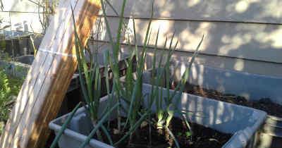 better green onions_400
