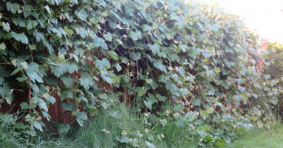 Grapes_400